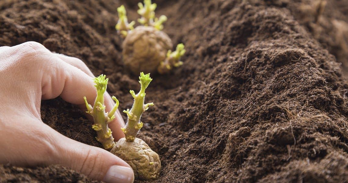 Quand planter ses pommes de terre ?